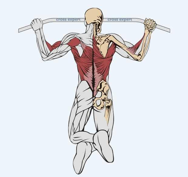 Мышцы, работающие при подтягиваниях баттерфляем