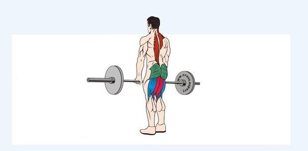 Мышцы, работающие в классической становой тяге
