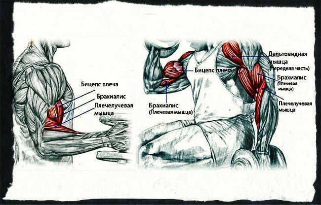 Мышцы бицепса анатомия