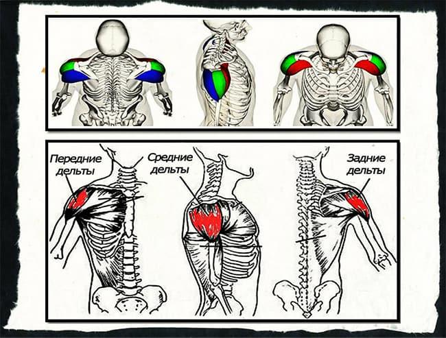 Структура дельтовидных мышц