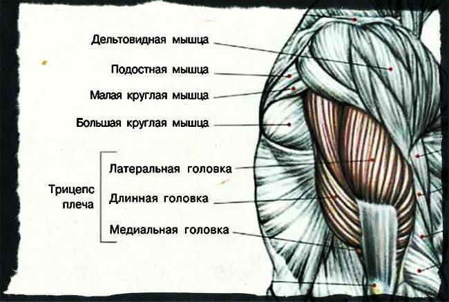 Мышцы трицепса анатомия