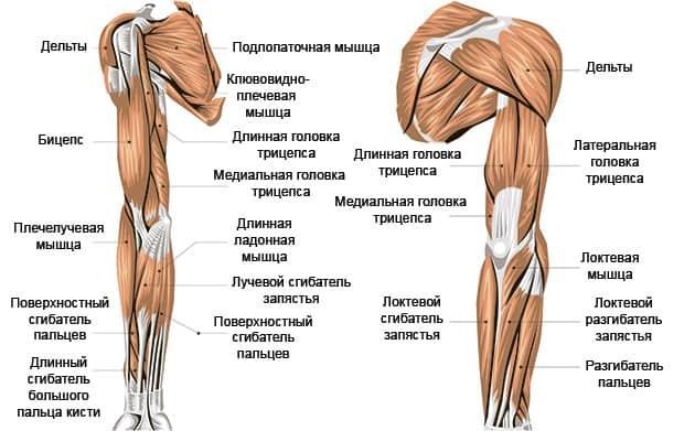 Анатомическое строение рук