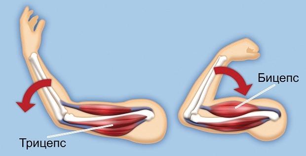 Расположение мышц бицепса и трицепса