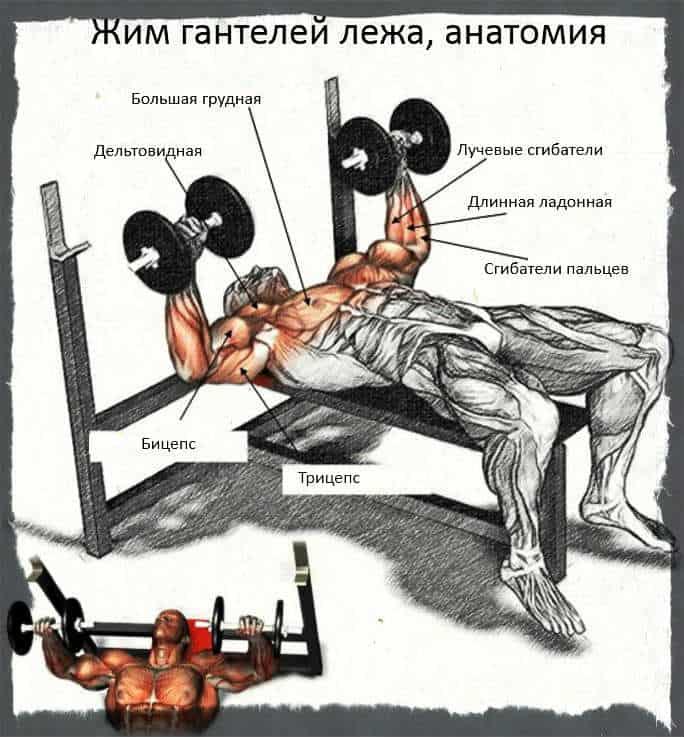 Какие мышцы работают при жиме гантелей лежа