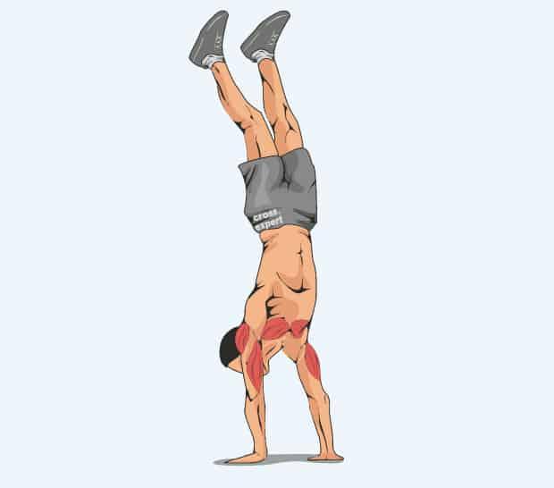 Мышцы, работающие в стойке на руках