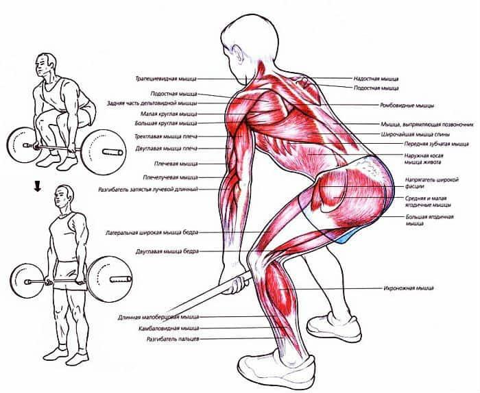 Какие мышцы работают при классической становой тяге