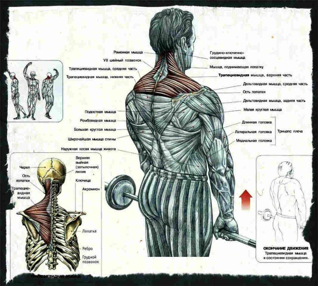 Какие мышцы работают при шрагах со штангой