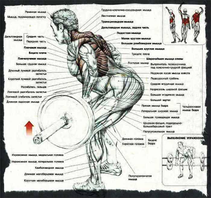 Какие мышцы работают при тяге штанги в наклоне