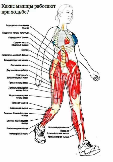 Какие мышцы работают при ходьбе