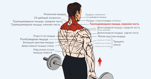 мышцы при шрагах со штангой