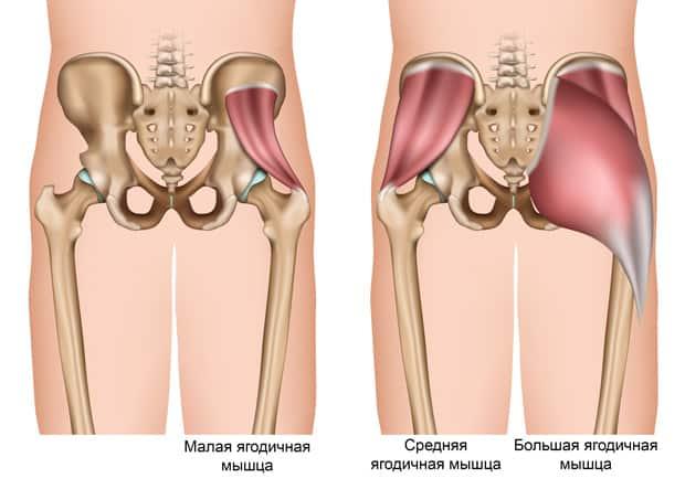Анатомическое строение ягодичных мышц