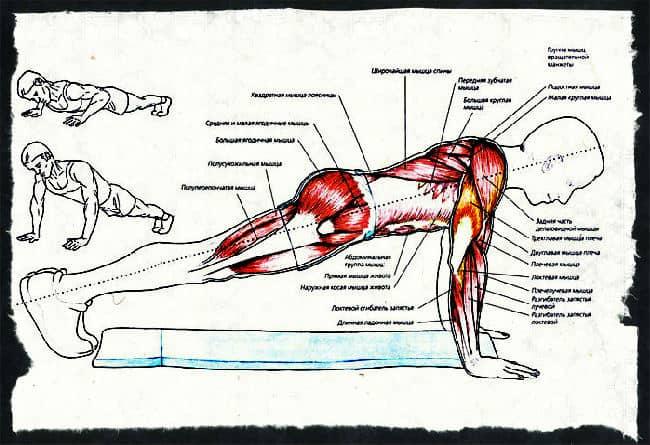 Какие мышцы работаю при взрывных отжиманиях