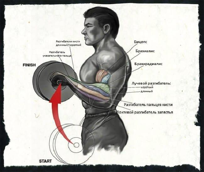 Какие мышцы работают при обратном хвате штанги