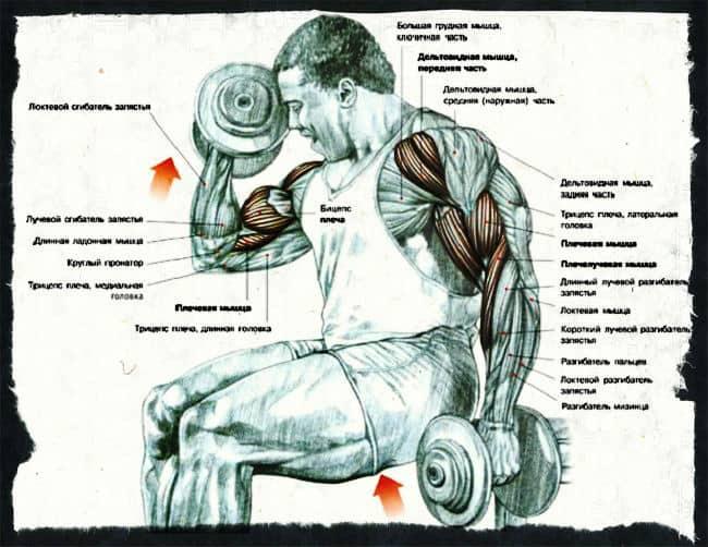 какие мышцы работают при сгибании рук с гантелями