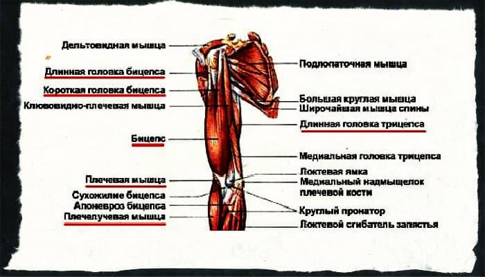 Бицепс и дельта в работе плеча