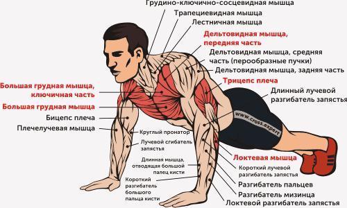 Отжимания - мышцы
