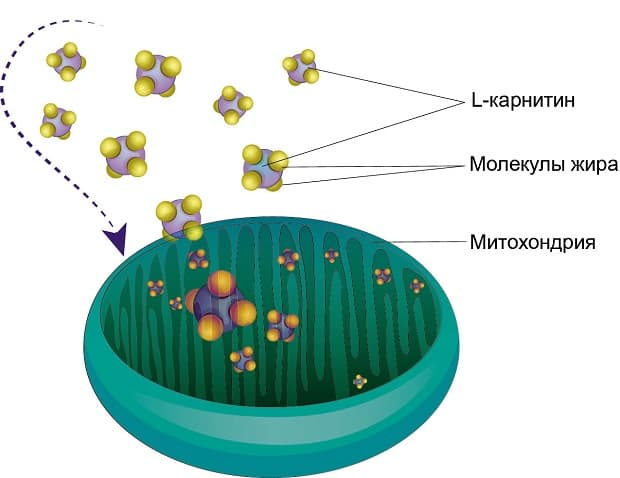 Транспорт жирных кислот в митохондрии