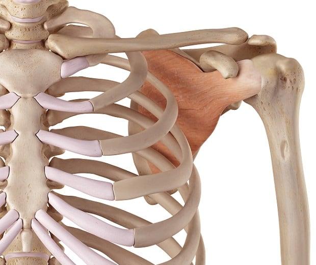 Крепление подлопаточной мышцы