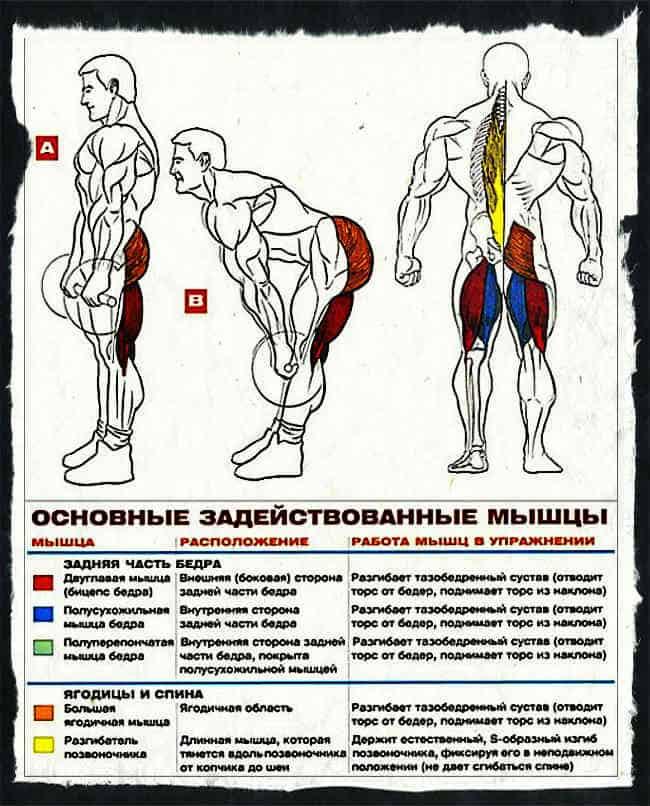 какие мышцы работают при становой тяге с гантелями