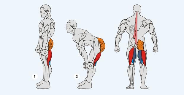 становая тяга с гантелями - мышцы