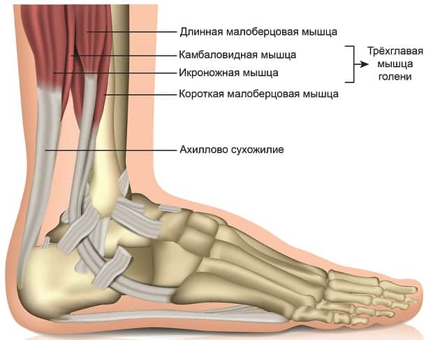 Мышцы голеностопа и ахиллово сухожилие