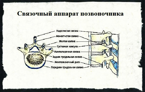 Связочный аппарат позвоночника