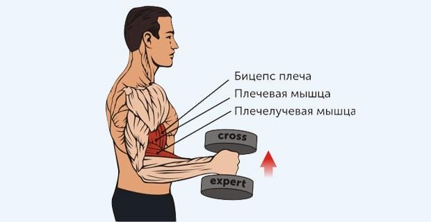 Местонахождение плечевой и плечелучевой мышц