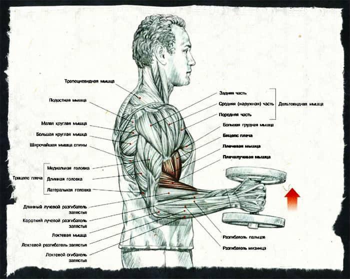 Какие мышцы работают при молотках с гантелями