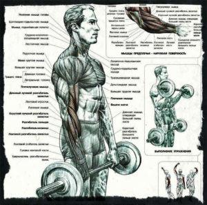 Мышцы задействованные при сгибагии рук со штангой