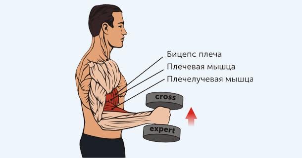 какие мышцы работают при упражнении молотки с гантелями