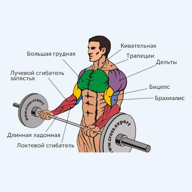 сгибание рук со штангой - какие мышцы работают