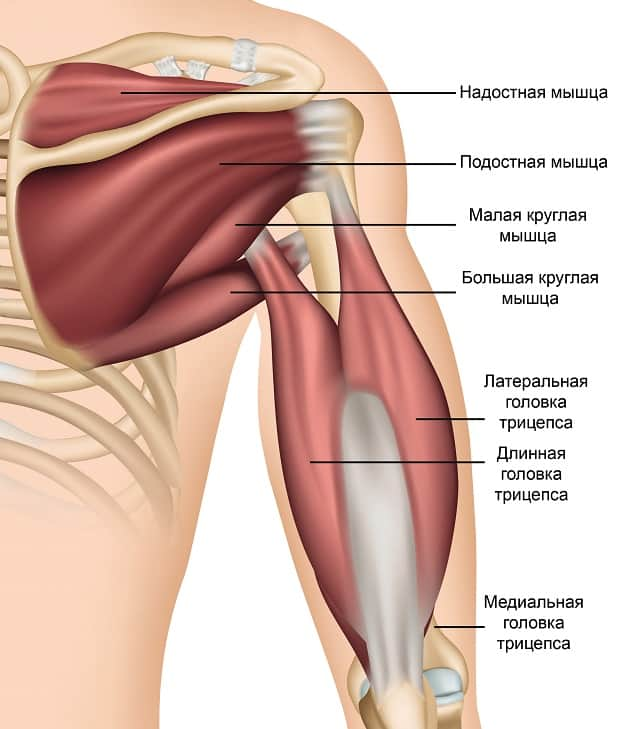 Мышцы, прикрепляющиеся к плечу