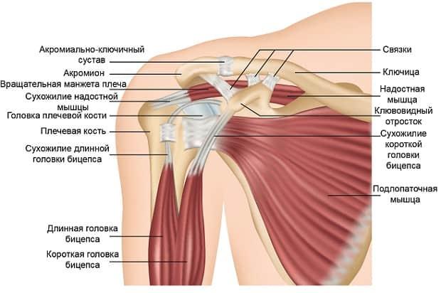 Анатомия строения плечевого сустава