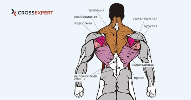 Мышцы спины - физиология