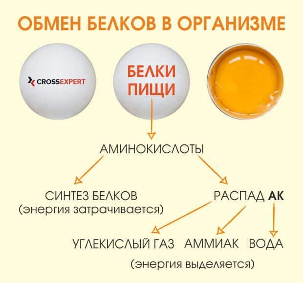 обмен белков в организме