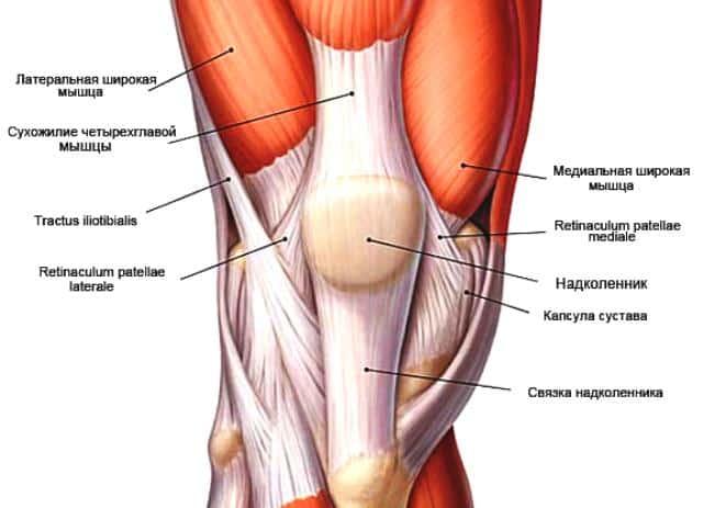 Связочный аппарат колена