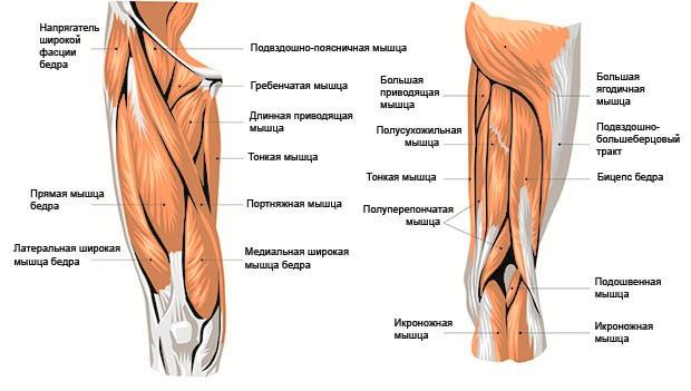 Мышечное строение ног