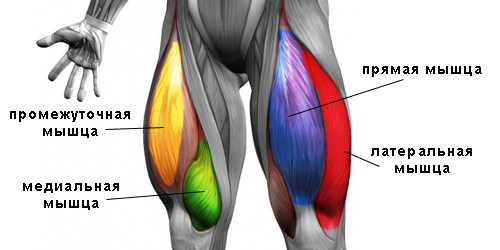 Анатомия квадрицепса бедра