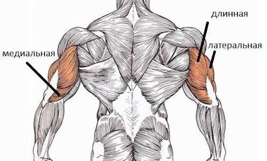 Анатомия мышц трицепса