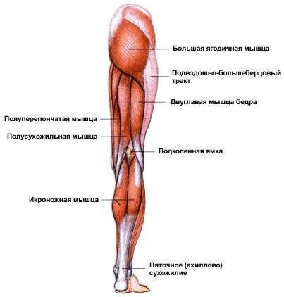Немного про мышцы ног
