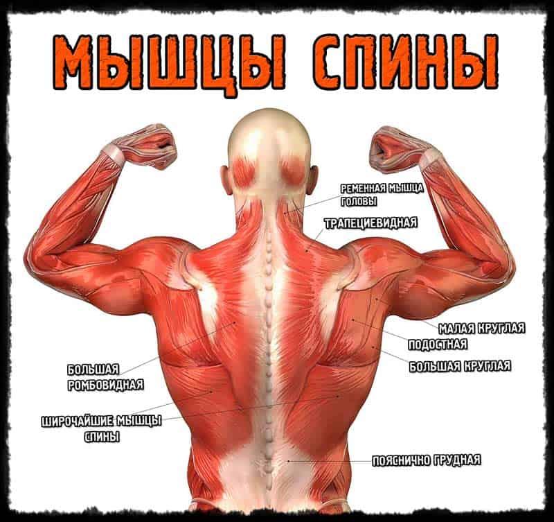 Общая анатомия мышц спины