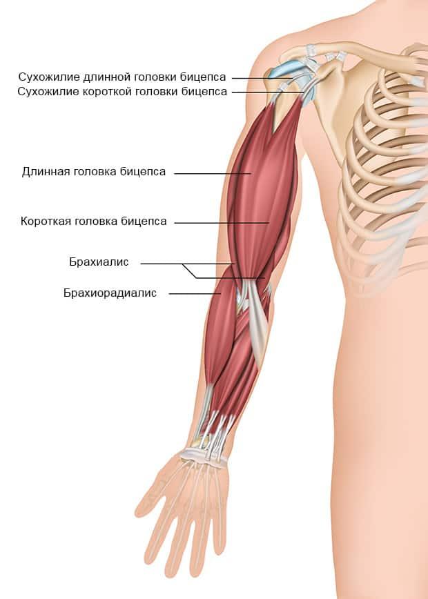 Анатомическое строение бицепса