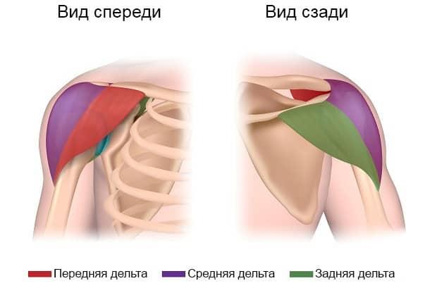 Анатомическое строение плеч