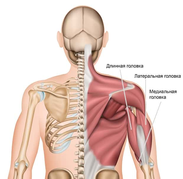 Анатомия трехглавой мышцы плеча