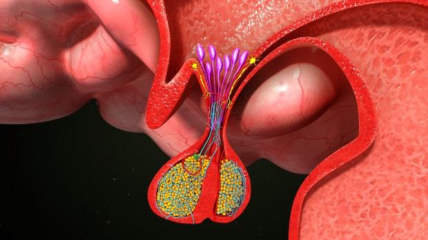 секреция тестостерона