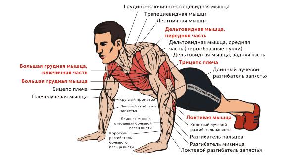 Работающие мышечные группы при отжиманиях
