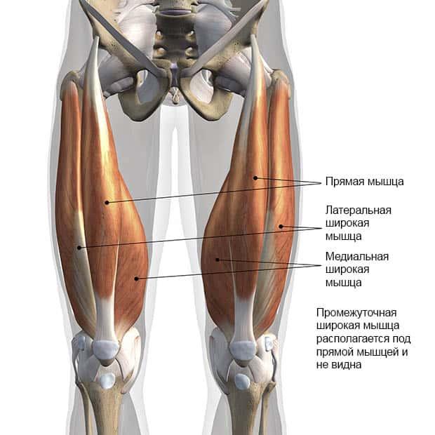 Анатомическое строение квадрицепса
