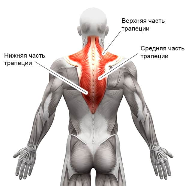 Анатомическое строение трапециевидных мышц
