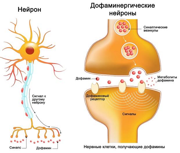 передача сигналов дофамином