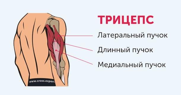 Трицепс - строение